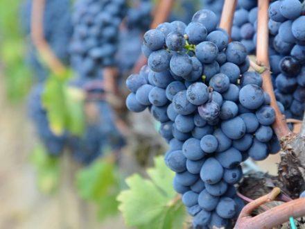 Grape_824